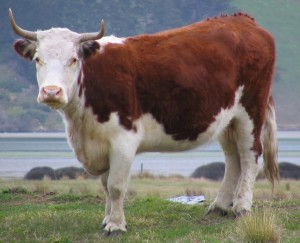 Horned_cow,_Otago_Peninsula,_NZ